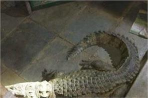 the female crocodile was sitting under the bedstead