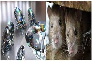 bihar mice gathering headlines