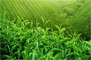 iran looking to export fresh tea hopefully