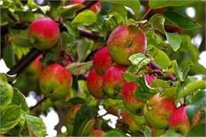 weather effect apple yields good yield