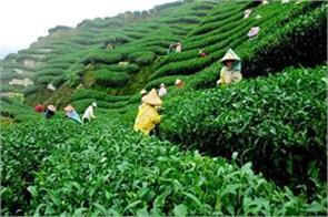 decreased tea exports in january this year