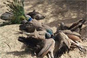 jaunpur 6 peacocks dead feared to be poisoned in mango orchard