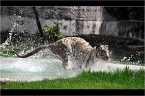 hot day chattbir zoo animals are taking the help of water to stay cool