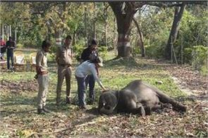the elephant calf injured
