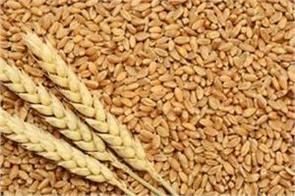 central government purchased 55 17 lakh tonnes of wheat