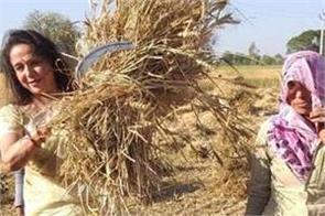 hema malini reaches wheat harvest