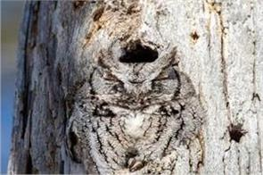 the picture of a owl hidden in the tree stem goes viral