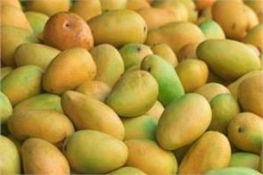 mango cultivation estimated to be 23 lakh hectares this year