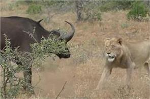 buffalo fights lions crocodiles in viral video