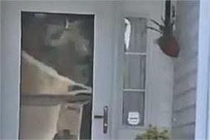an alligator tried to ring the doorbell of a woman s home