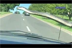 snake hitches ride on windshield of car video viral