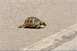 curious turtle disrupts air traffic at gold coast airport in australia