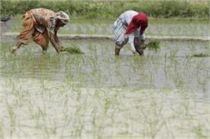 farmers cultivate maize instead of paddy to save water