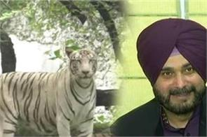 bigger revealing about tigers for adoption of navjot sidhu