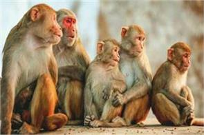 how many monkeys in delhi census will be for the first time