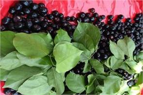 diabetes control jammant blackberry develop