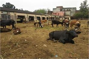 stray cattles in poor conditions in kathua