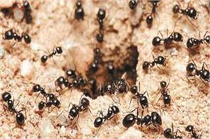 ants like cleaning a lot