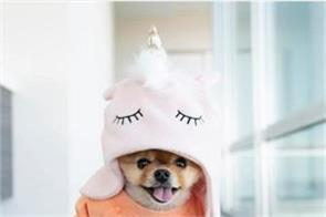 jiffpom pomeranian dog viral on social media
