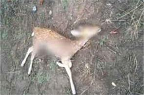 leopard hunted chital