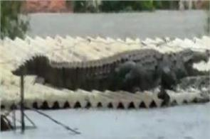 crocodile reached roof of house to avoid flood