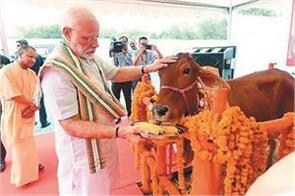 cow s return to politics used for  electoral gains