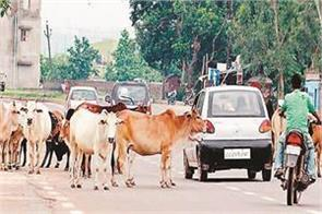 handling of domestic cow and sending american oxen to abattoirs demands time