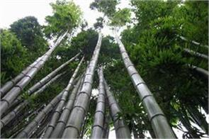 two lakh jobs can be created by planting bamboo trees along the highways