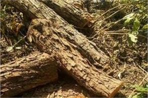 khair tree