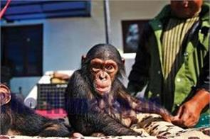 five sentenced to jail for smuggling chimpanzees