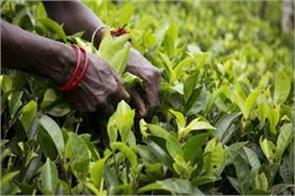 tea prices will boil before diwali