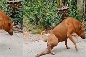 street dog fakes broken leg to get food and attention