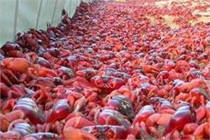 crabs of christmas island