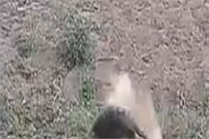 south africa video viral lion buffalo