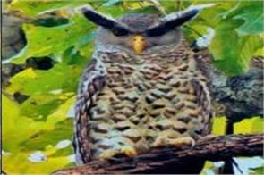 owl of rare species found in ramnagar forest division