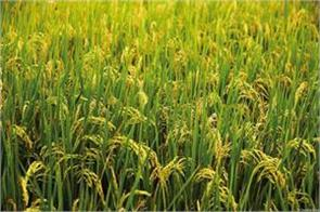 government procured 3 65 lakh tonnes of kharif paddy at msp in last one week