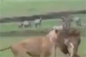 social media avnish sharan lion dog video viral