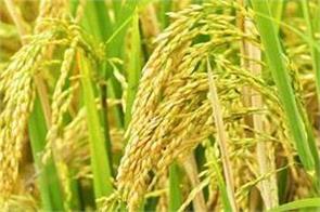 record paddy procurement in kharif season