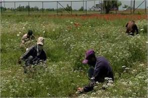 promotion of cumin cultivation in pampore