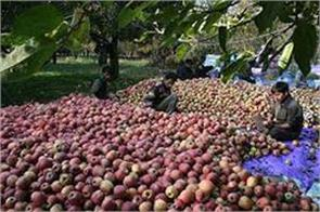 kashmir s delicious apple is ready to knock in the market