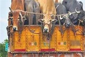 samba police save bovines from smugglers