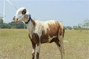 the price of this sheep is more than one crore