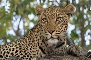 after tigers and lions pm modi gives very good news on leopards