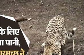 national news punjab kesari social media crocodile cheetah video viral