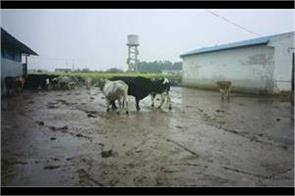 the condition of the cow dynasty worsened in the rain four died