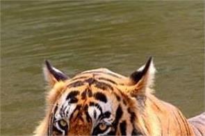 delhi zoo bengal tiger sunish bakshi