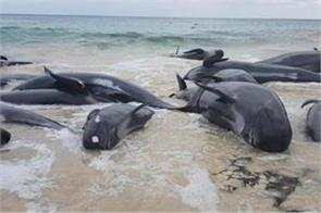 four whales died at the new zealand beach 7 rescued
