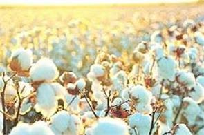 due to corona virus the price of cotton fell inverted