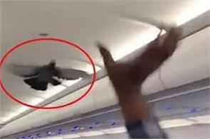 pigeon flies inside goair plane