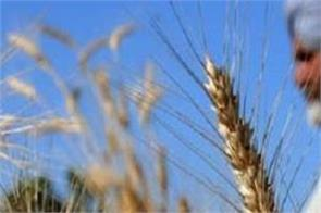 this time the possibility of record yield of wheat